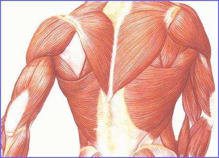Kosterní svaly - anatomie